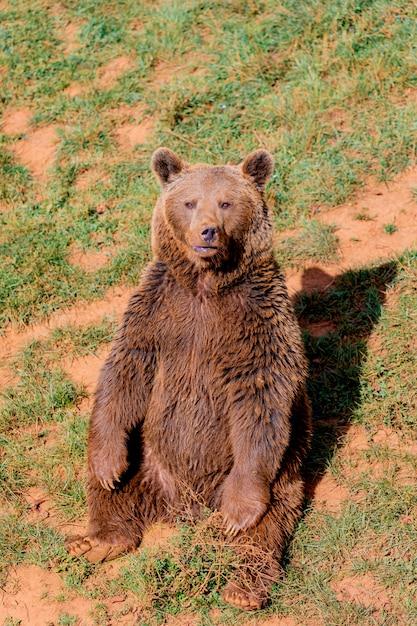 Красивый коричневый испанский медведь Premium Фотографии