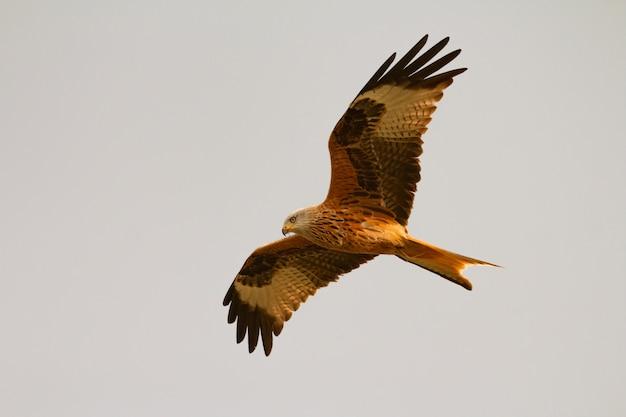 Удивительная хищная птица в полете Premium Фотографии