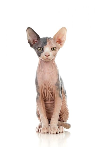 スフィンクス猫 Premium写真