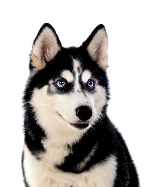 Сибирский хаски с голубыми глазами Premium Фотографии