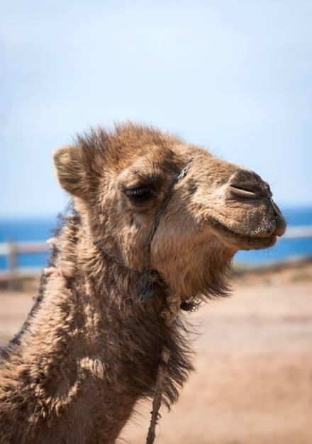 モロッコキャメル Premium写真
