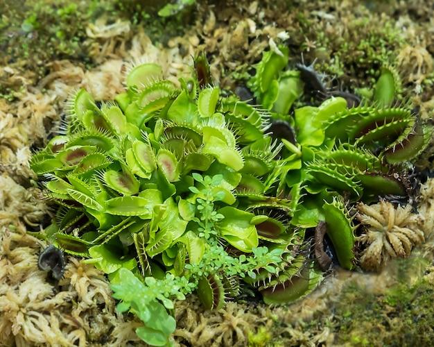 金星ハエトラップ植物。 Premium写真