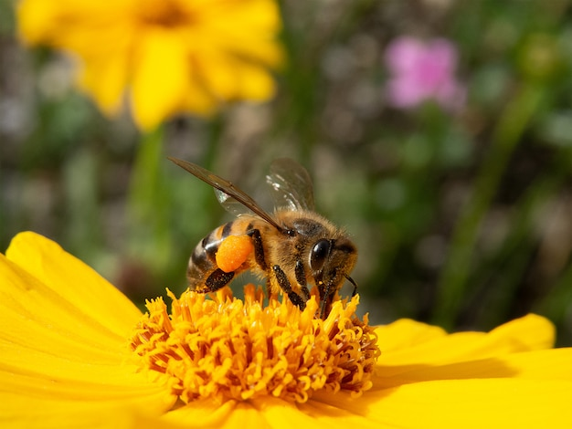 Пчела крупного плана опыляя желтый цветок в красивом саде Premium Фотографии