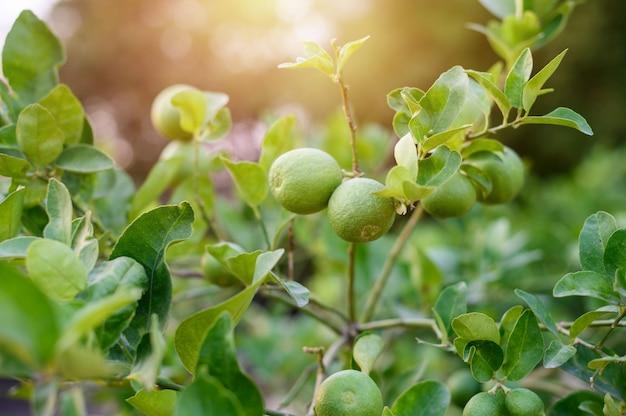 レモンと葉とフレアの光には、背景がぼやけています。 Premium写真