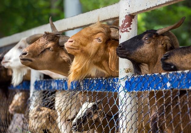 ヤギ農場は食べ物を待っています。 Premium写真