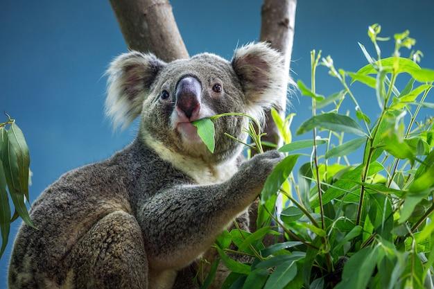 コアラはユーカリの葉を食べています。 Premium写真