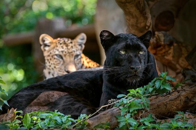 Пантера или леопард в естественной атмосфере. Premium Фотографии