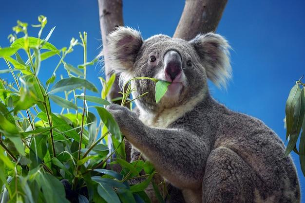 ユーカリを食べるコアラ Premium写真