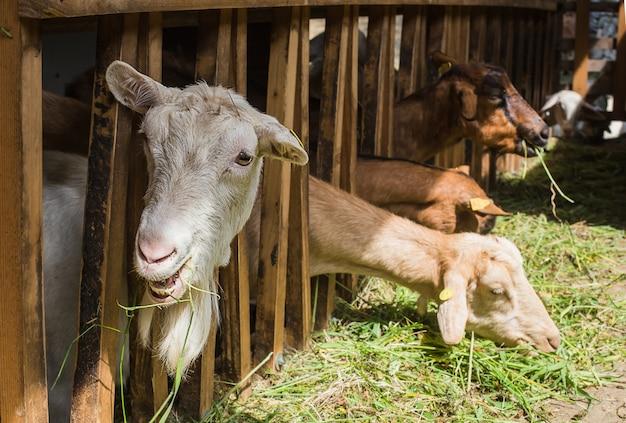 安定したヤギ Premium写真