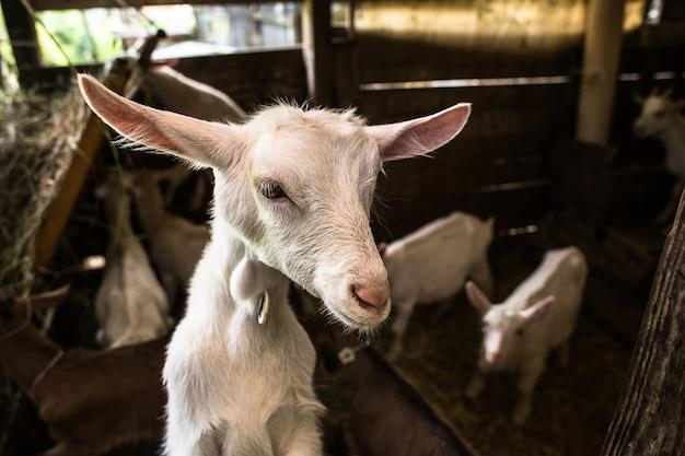 安定したヤギの子供 Premium写真