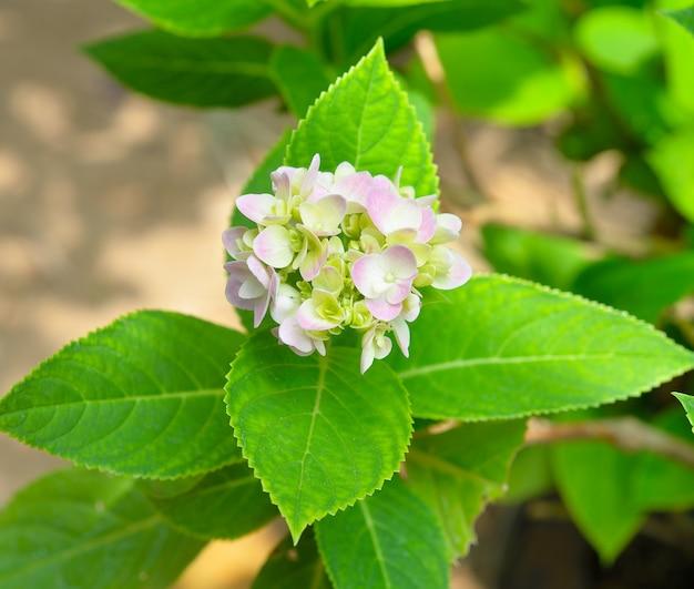アジサイの花びら Premium写真