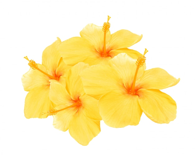 黄色のハイビスカス絶縁 Premium写真