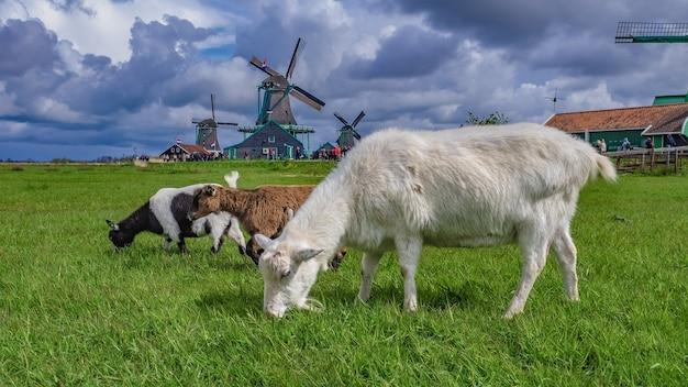 羊のヤギの動物 Premium写真
