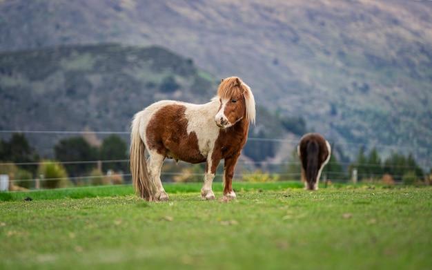 緑の牧草地のミニチュア馬 Premium写真