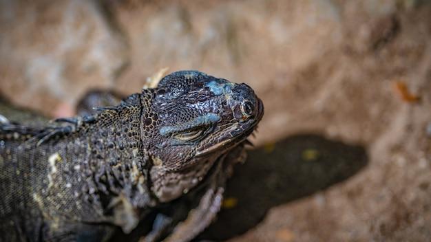 グリーンイグアナ爬虫類 Premium写真