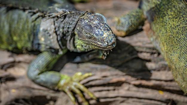爬虫類グリーンイグアナ Premium写真