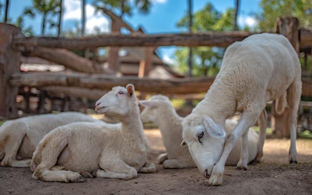 フィールドでの愛らしい羊 Premium写真