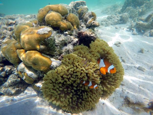 海の下でイソギンチャクとカクレクマノミ Premium写真