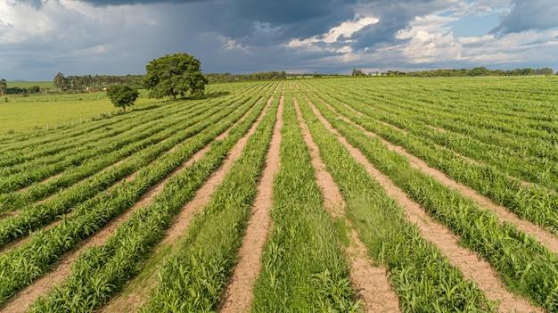 サトウキビはプランテーション空中を収穫します。農業分野の空中のトップビュー。サトウキビ農場。 Premium写真
