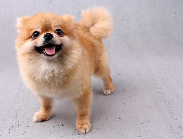 白い背景を持つ笑顔の犬。 Premium写真