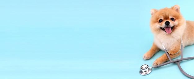 Милая маленькая померанская собака со стетоскопом как ветеринар на синем Premium Фотографии