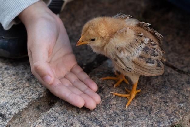 かわいい小さなひよこを世話している子供の手を閉じます。ひな鶏。 Premium写真