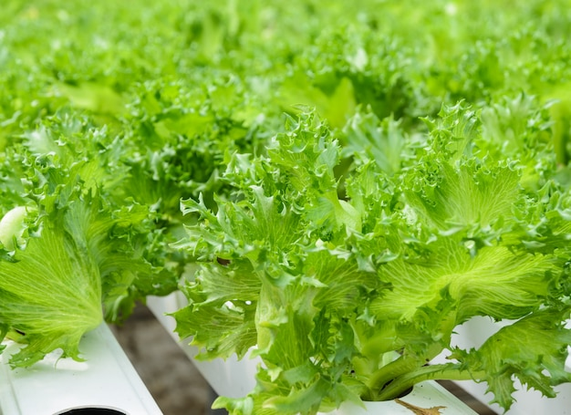 フィリーアイスバーグリーフレタス野菜農園のクローズアップ Premium写真