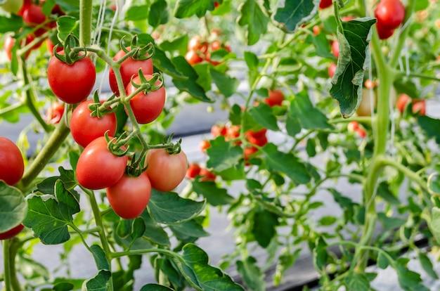 Незрелый красный помидор, растущий на лозе Premium Фотографии