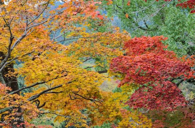 Японский осенний цвет листьев клена Premium Фотографии