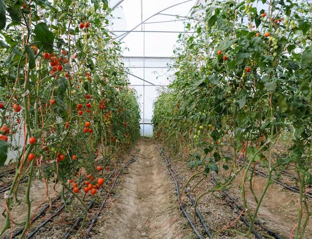 ブドウのトマト農園 Premium写真
