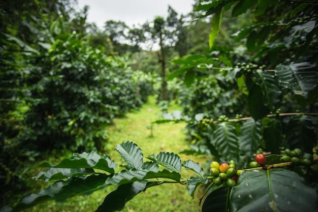 タイ北部で成長している緑の葉の木の上のアラビカコーヒーチェリー。 Premium写真