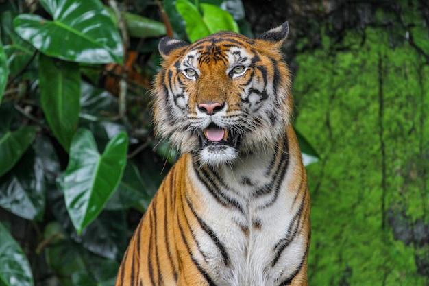 庭で虎ショー舌を閉じる Premium写真