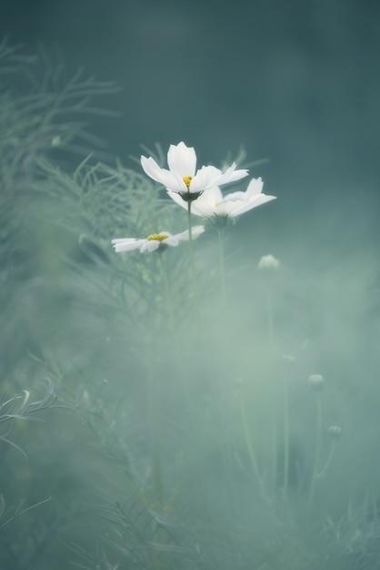 抽象的なパステル調の白い花コスモス Premium写真