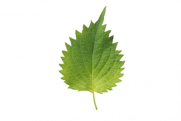 新鮮なイラクサの葉と白い背景の上 Premium写真
