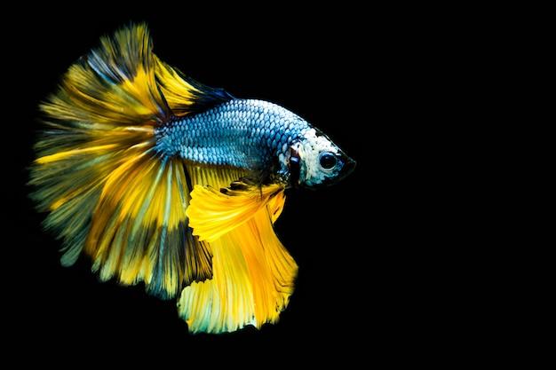 Многоцветная боевая рыба Premium Фотографии