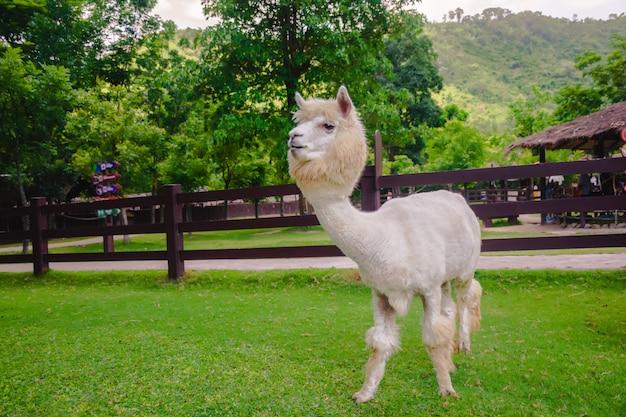 白いアルパカの農場で立っています。 Premium写真