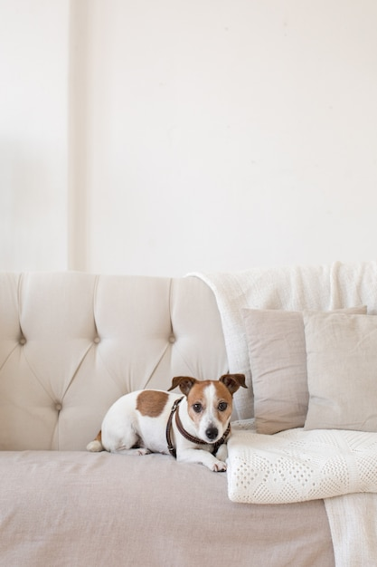 ソファの上で少し犬 Premium写真