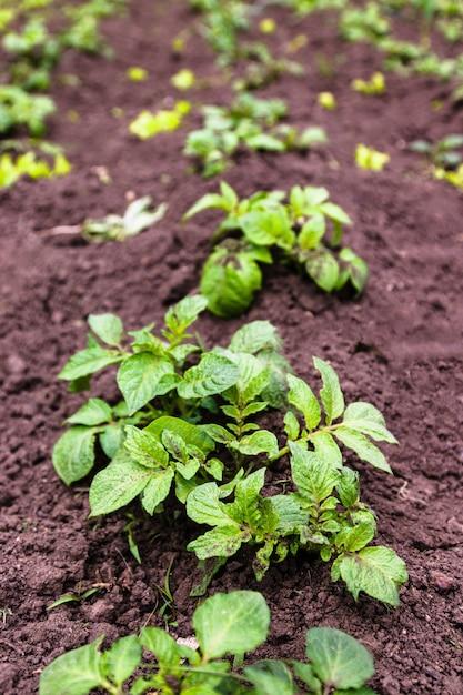 有機庭で健康的な若いジャガイモ植物。 Premium写真