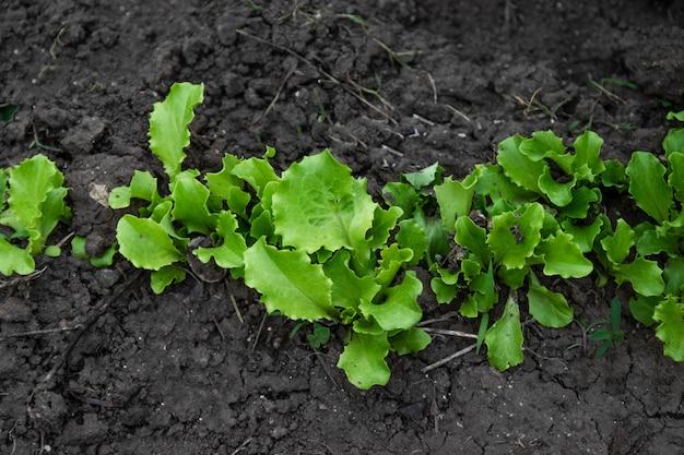 田舎の新鮮なレタス植物の行 Premium写真