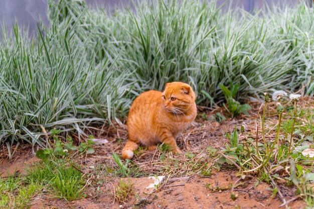 緑の茂みの背景に夏に家で座っている赤い猫 Premium写真