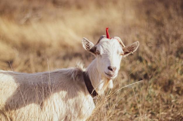 屋外の芝生の上で放牧白いヤギ Premium写真