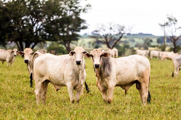 Стадо нелорских скотов Premium Фотографии