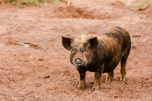 Кайпира свинья в поле Premium Фотографии