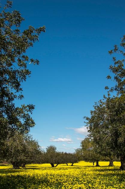ポルトガルの田舎の黄色い花の分野でイナゴマメの木の果樹園の眺め。 Premium写真