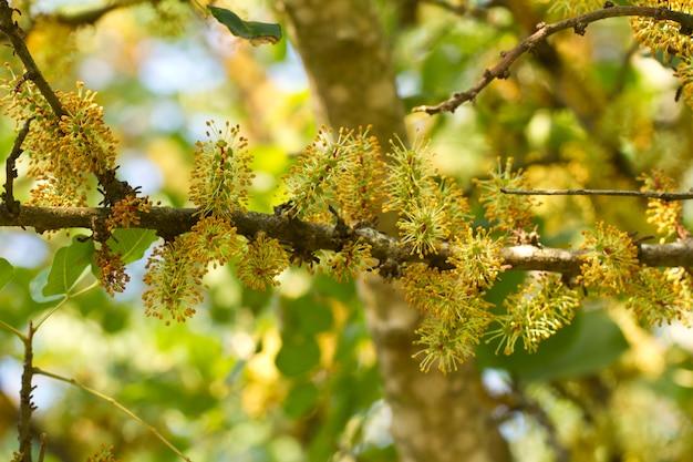 Цветут цветы рожкового дерева Premium Фотографии