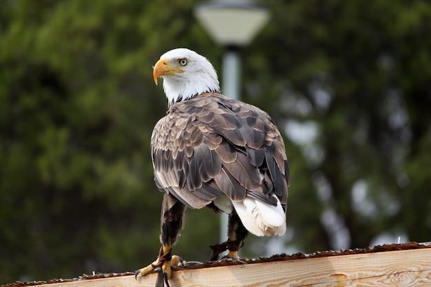 Американский белоголовый орлан Premium Фотографии