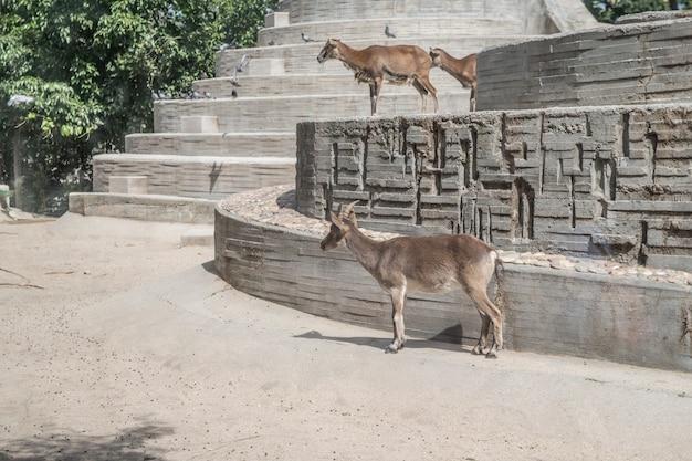 彼らに興味のある奇妙な騒音を見ているヤギ Premium写真