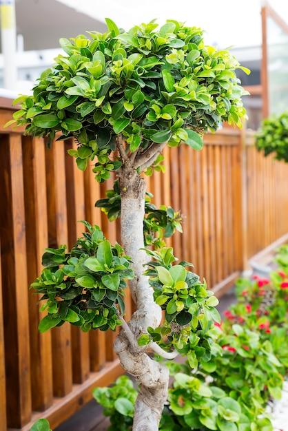 通りの美しい装飾的な鉢に植えられた盆栽の木 Premium写真