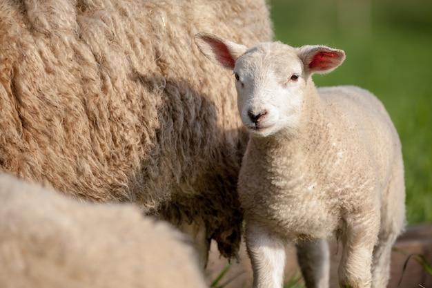 私を見ているかわいい子羊 Premium写真