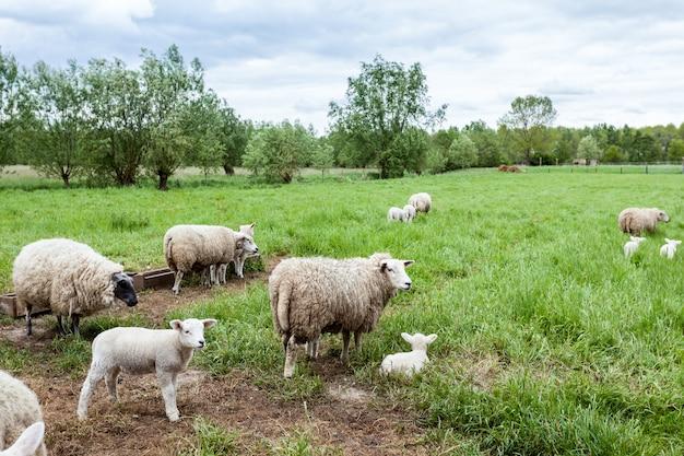 子羊 Premium写真